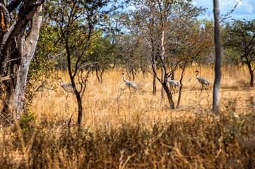 Australian Brolga group court at the bush in Western Australia