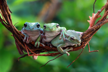 Foto op Canvas Kikker Australian white tree frog on branch
