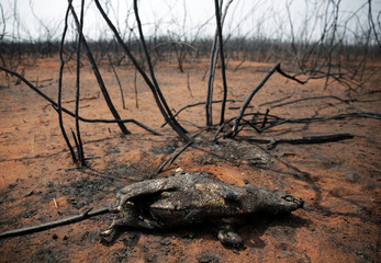 The charred remains of a burnt bush pig is pictured at the Guarani Nation Ecological Conservation Area Nembi Guasu in the Charagua region, an area where wildfires have destroyed hectares of forest, Charagua