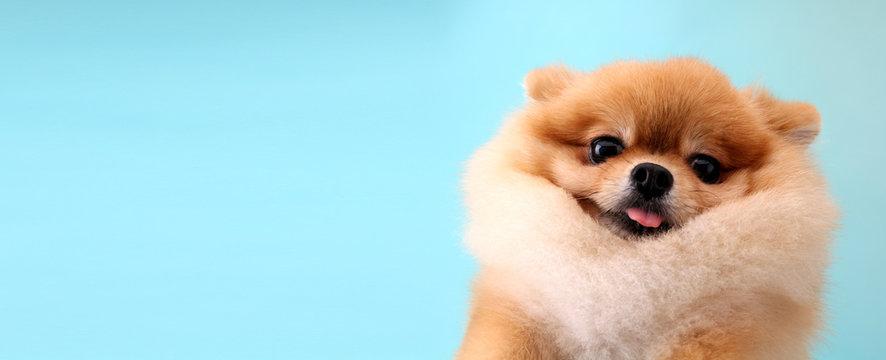 Pomeranian dog with blue backdrop.