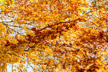 Deurstickers Yellow leaves on the tree. Golden leaves in autumn park. Autumn concept. Fall background