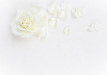 Photo sur Aluminium Roses Beautiful white rose and petals on white background. Ideal for greeting cards for wedding, birthday, Valentine's Day, Mother's Day