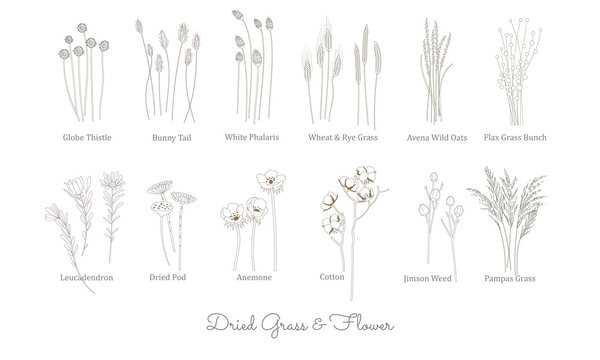 SET OF WILD GRASS, GRAIN, CEREAL AND DRIED FLOWER ILLUSTRATION. VECTOR LINE ART STYLE. GRASS COLLECTION FOR BOHEMIAN WEDDING AND DECORATION