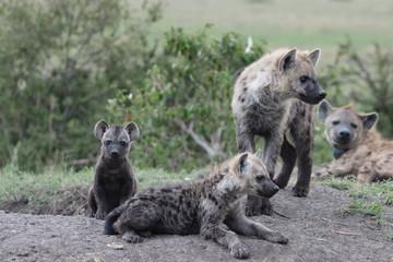 Fotobehang Hyena Spotted hyena cubs, Masai Mara National Park, Kenya.