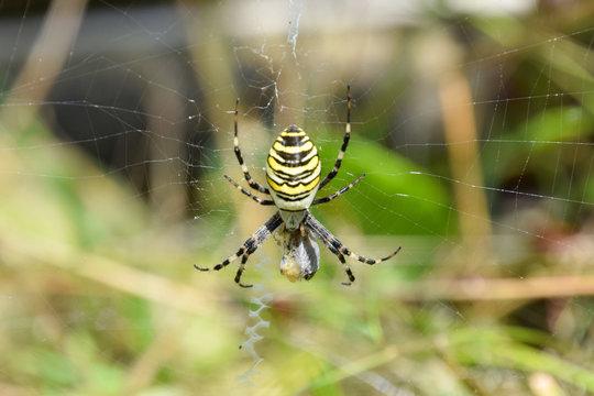 Yellow female spider feeding on web, argiope bruennichi