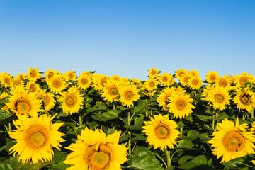 field of sunflowers blue sky without clouds