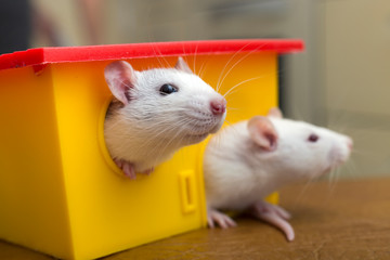Two funny domestic pet rats and a toy house. Fototapete