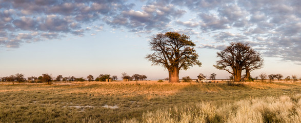 Camping under baobab trees in Botswana