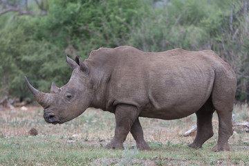 White rhino with horn in profile