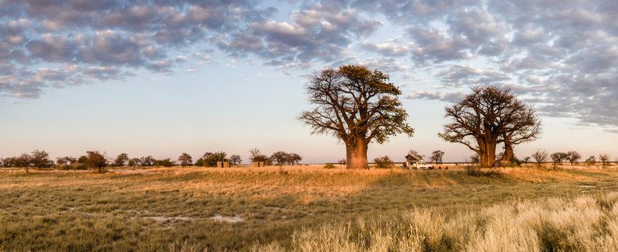 Camping under baobab trees in Botswana
