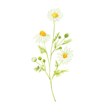 watercolor chamomile flowers
