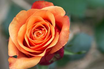 Close up of beautiful single orange rose on green-beige background Fotobehang