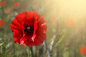 Canvas Prints Poppy Poppy flower or papaver rhoeas poppy with the light. Summer time background. Copy space
