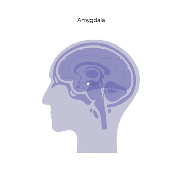 Vector isolated illustration of Amygdala