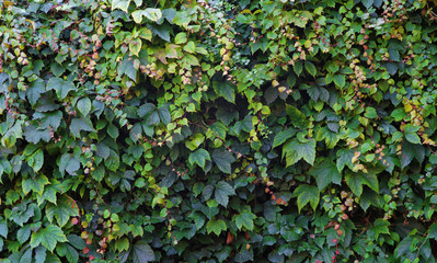 Ivy and vine wall covering background