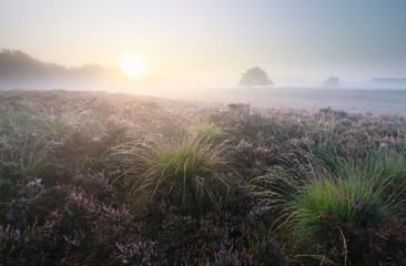 Wall Mural - beautiful misty sunrise over blossoming heather