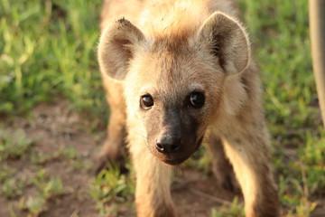 Poster Hyène Spotted hyena face closeup, Masai Mara National Park, Kenya.