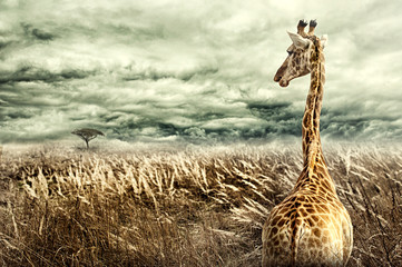 Nubian giraffe walking through tall dry yellow grass towards a tree in distance. Dramatic stormy clouds. Negative space on left