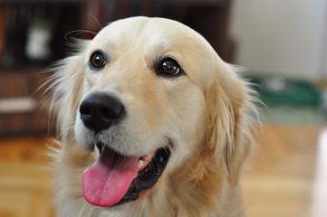 Golden retriever dog looking happy