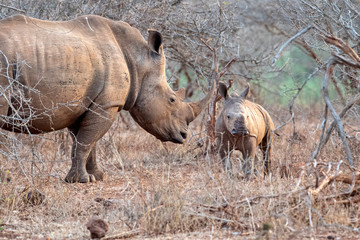baby rhino and mom kruger park south africa