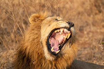 roaring male lion in kruger park south africa