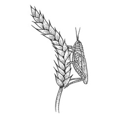 Wheat ear spikelet with Locusts grasshopper sketch engraving vector illustration. Scratch board style imitation. Black and white hand drawn image.