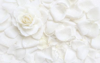 Beautiful white rose and petals on white background. Ideal for greeting cards for wedding, birthday, Valentine's Day, Mother's Day