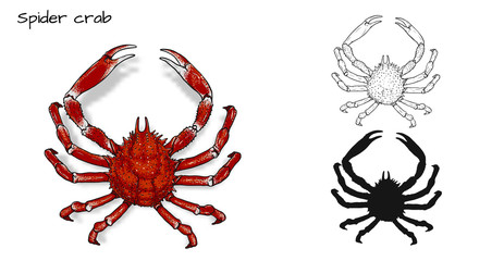 Crab vector by hand drawing.crab silhouette on white background.Spider Crabs art highly detailed in line art style.Animal pictures for coloring