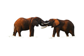 Isolated on white background, two huge african elephants are touching their trunks to each other. Playing elephants, Kenya wildlife, Amboseli.