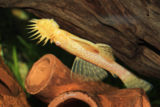 Aquarium fish Ancistrus on a wooden snag in the water.