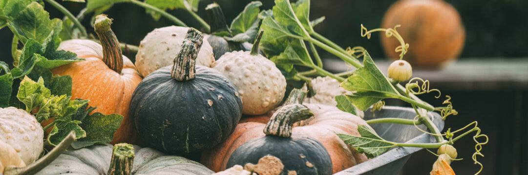 Different pumpkins close-up. Harvest of pumpkins. Banner for your design.