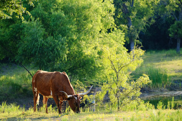 Wall Mural - Texas Longhorn cow grazing during summer.