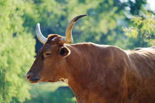 Wall mural Texas longhorn cow on farm during summer, agriculture cattle industry.