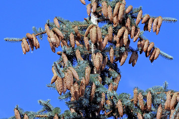 Fototapete - cones on top of a blue spruce on blue sky background