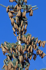 Wall Mural - cones on top of a blue spruce on blue sky background