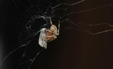 Close up of garden spider feeding in his net