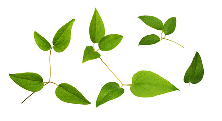 Set of green clematis leaves isolated on white