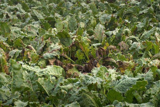 Sugarbeets agriculture farming. Plant disease