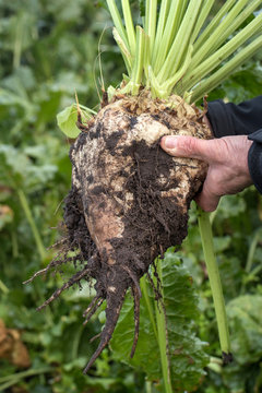 Sugarbeets agriculture farming