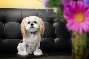 Photo sur Aluminium Animaux de Hipster lovely dog shitzu breed portrait funny haircut funny dog