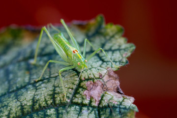 Front view of a cricket on a hollyhock leaf