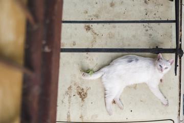 Odd-eyed white stray cat photographed from balcony