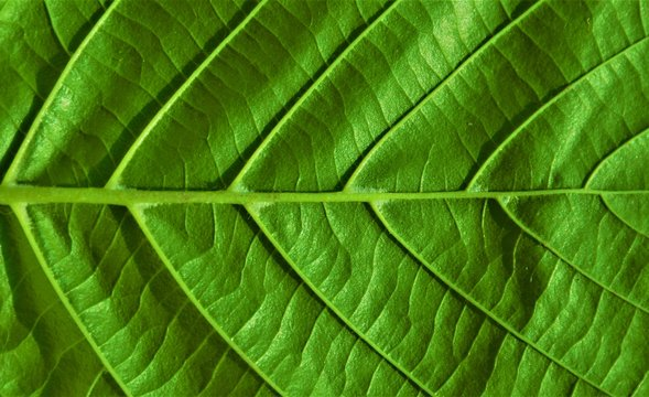 ribs of a green leaf in close up