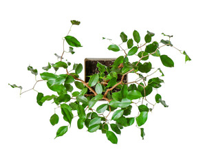 houseplant - young Ficus benjamina a potted plant isolated over white top view