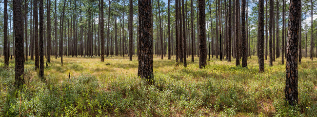 Forest of longleaf pine (Pinus palustris) in Green Swamp Preserve in North Carolina in early April. Occasional fires keep undergrowth under control Wall mural