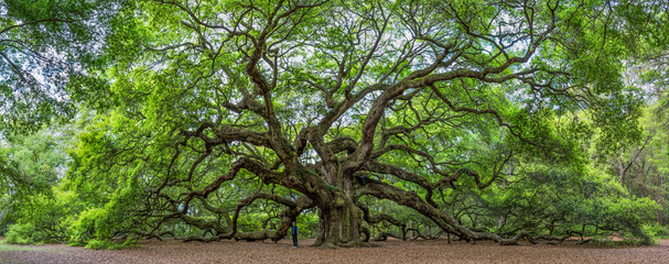 The famous Angel Oak, located in its own park outside of Charleston, South Carolina. The tree is at least 400 years old (some claim 1,500).  A person is shown to give perspective. Fototapete