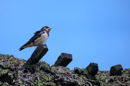 young barn swallow bird (Hirundo rustica) is perching on a thatched roof on a sunny day against the blue sky, copy space