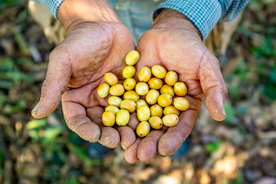 Farmer Showing his Yellow Organic Coffee Fruits Harvest in Coroico, Bolivia