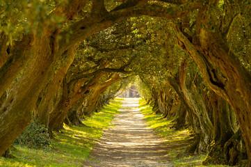 Poster Road in forest Túnel de olivos