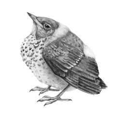 Pencil drawing baby thrush bird illustration. Graphic hand drawn wild catbird chik. Small nestling isolated on white background